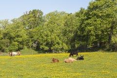 Коровы на луге Стоковые Фотографии RF