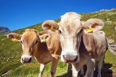 Коровы на лужке горы Стоковые Фотографии RF