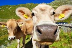 Коровы на лужке горы Стоковые Изображения RF