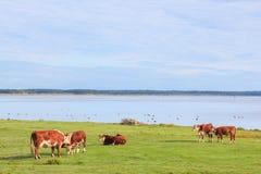 Коровы на лужке Стоковое Фото