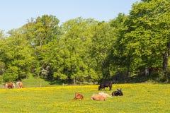 Коровы на лужке Стоковое фото RF