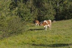 Коровы на лужке Стоковые Фотографии RF