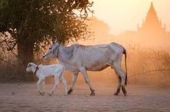 Коровы на улице на заходе солнца в Bagan, Мьянме Стоковое Изображение