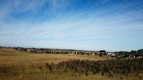 Коровы на ферме @ Виктории Австралии Стоковое фото RF