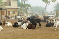 Коровы на ферме в Индии Стоковое Изображение