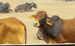 Коровы на ферме в Индии Стоковые Фото