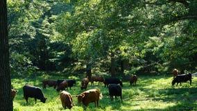 Коровы на ферме в Коннектикуте Стоковые Изображения
