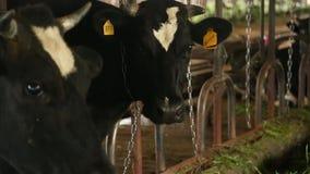 Коровы на ферме акции видеоматериалы