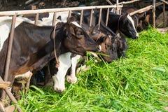 Коровы на ферме есть траву Стоковое Изображение RF
