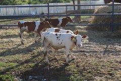 Коровы на ферме за загородкой смотря камеру стоковые фотографии rf
