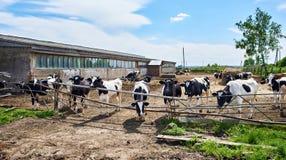 Коровы на ферме на летнем дне Стоковое Изображение