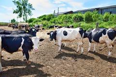 Коровы на ферме на летнем дне Стоковое Изображение RF