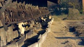 Коровы на ферме поголовья видеоматериал