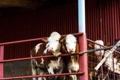 Коровы на ферме, сельскохозяйственной продукции сельской местности мяса говядины Стоковое Изображение