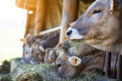 Коровы на ферме участвуют в гонке высокогорный Брайн есть сено в конюшне Стоковое фото RF