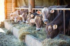 Коровы на ферме участвуют в гонке высокогорный Брайн есть сено в конюшне Стоковые Фото