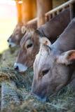 Коровы на ферме участвуют в гонке высокогорный Брайн есть сено в конюшне Стоковые Фотографии RF