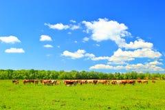 Коровы на ферме Стоковые Изображения RF