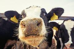 Коровы на ферме Стоковое Фото