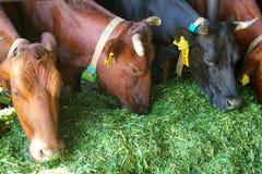 Коровы на ферме Стоковое фото RF