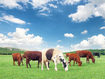 Коровы на ферме Стоковые Фотографии RF
