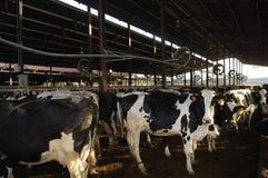 Коровы на ферме Стоковые Изображения