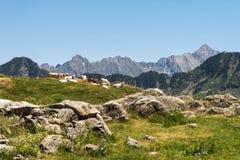 Коровы на французских Пиренеи Стоковое Фото