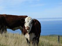 Коровы на холмах стоковые изображения rf