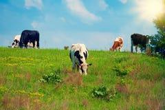 Коровы на холме Стоковые Фото