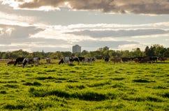 Коровы на экспириментально ферме, Оттаве Стоковые Фотографии RF