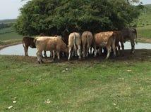 Коровы на южных спусках стоковые фото