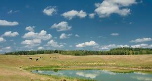 Коровы озером Стоковое Изображение