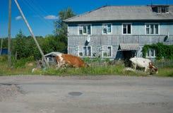 2 коровы около дома, Nadvoitsy, области Karelia, России Стоковые Фотографии RF