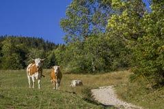 2 коровы около пешего пути в горных вершинах Стоковые Фото