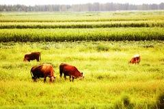 коровы осени Стоковое Изображение RF