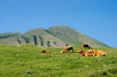 коровы ослабляют Стоковые Изображения RF