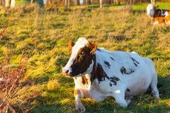 Коровы ослабляя и лежа на траве в солнечности осени Стоковые Изображения RF
