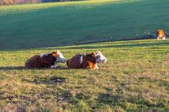 Коровы ослабляя и лежа на траве в солнечности осени Стоковое Изображение RF