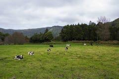 Коровы отдыхая и пася на зеленом поле Стоковое фото RF