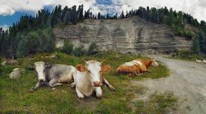 3 коровы отдыхая на траве против песочных горы и леса Стоковая Фотография
