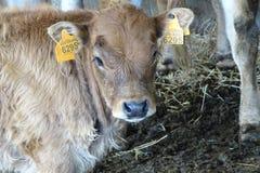 Коровы от фермы подробно Стоковые Изображения