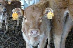 Коровы от фермы подробно Стоковая Фотография