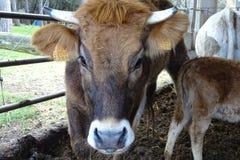 Коровы от фермы подробно Стоковые Фото