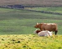 Коровы отдыхая в зеленом выгоне Стоковое Изображение RF