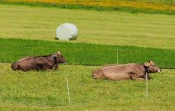 2 коровы отдыхая на зеленой траве на Mt Stanserhorn в Switzerlan Стоковые Изображения