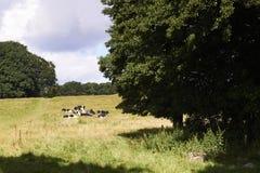 Коровы отдыхая на поле Стоковое фото RF
