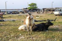 Коровы отдыхая на пляже negombo, Шри-Ланки Стоковое Фото