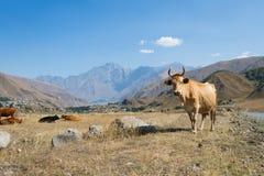 Коровы пасут в горах Стоковое Фото