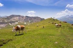 Коровы пасут в горах Стоковые Изображения