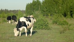 Коровы пасут в зеленом травянистом луге около леса весны Стоковые Фотографии RF